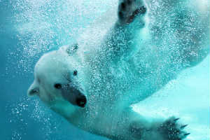 Polar Bear underwater with lots of bubbles - POLAR BEARS GO COCONUTS! - Crop - Blob - Sm