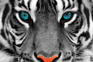 Grey Tiger with Blue Eyes and Red Nose - BONNE NUIT CHERE TIGRESSE - Crop - Blog - Sm